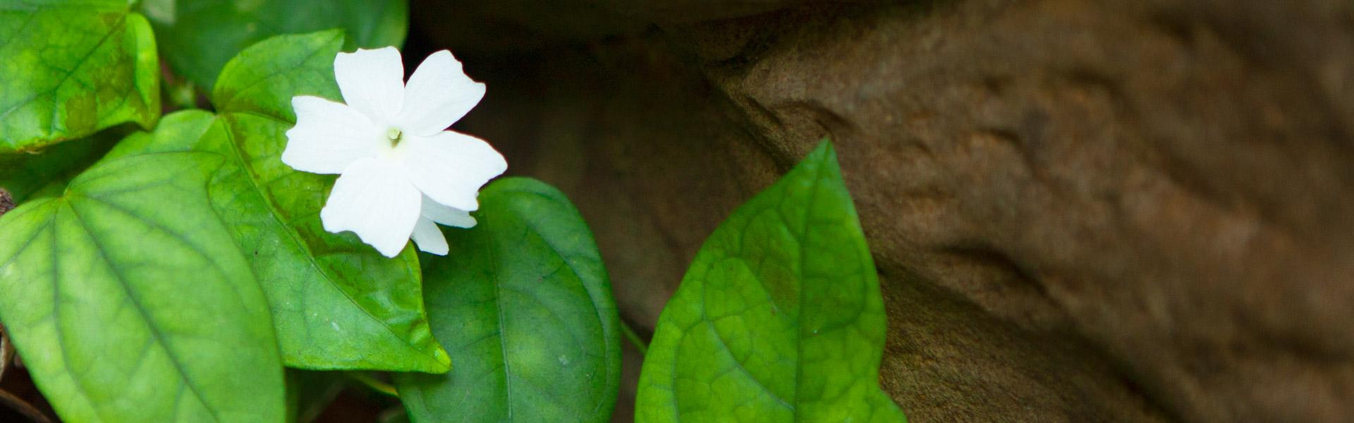 ss_whiteflower_1920618